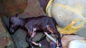বরগুনার তালতলী জেডিঘাটে পেটে বাচ্চাসহ গরু জবাই